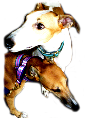 Pacific Rain Custom Dog Collars on Greyhounds